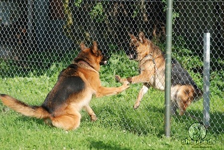 GSD Aggression Problems