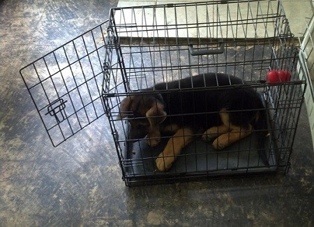GSD Puppy Crate Training