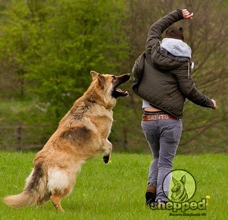 GSD Jumping on People