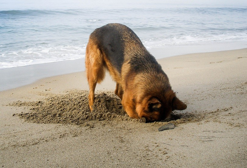 GSD digging problems