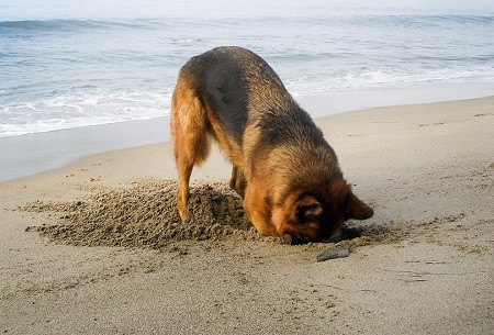 German Shepherd Digging
