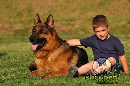 German Shepherd with a kid