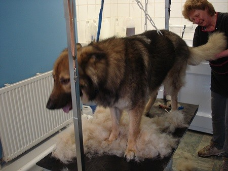 German Shepherd Grooming and Sheding