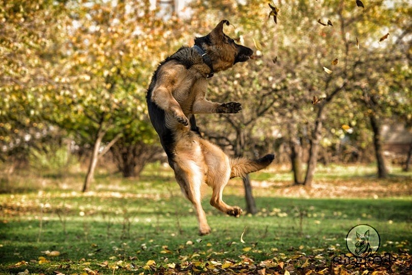 German Shepherd Jumping on people