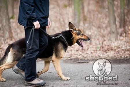 German Shepherd Leash Training