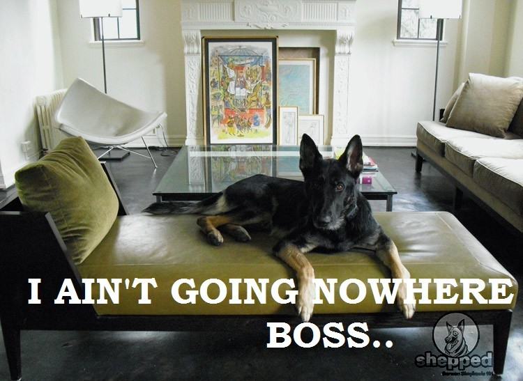 keep your gsd from jumping on furniture with these tips shepped