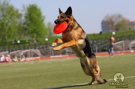 German Shepherd Playing Fetch