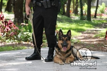 Basics of Obedience Training For Your German Shepherd