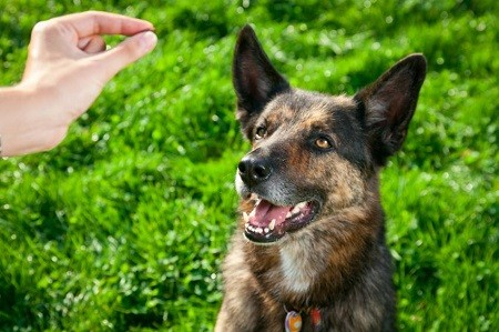GSD Getting a treat