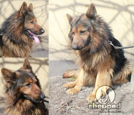 Long Haired German Shepherd = Long Hair Problems? Nope. | Shepped.com