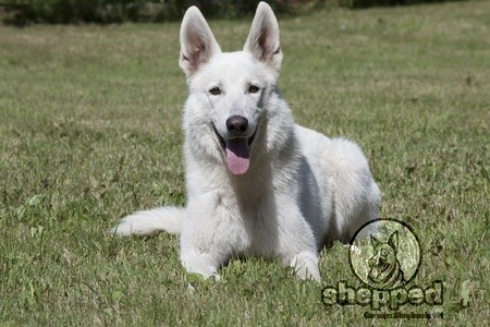 Is It White Or Albino German Shepherd Shepped Com