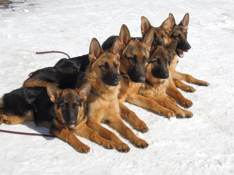 Vet Recommended Feeding Guidelines For Your German Shepherd Dog Shepped