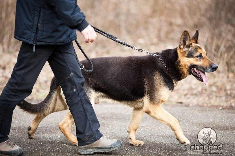 Put Your Pup In Check German Shepherd Obedience Training