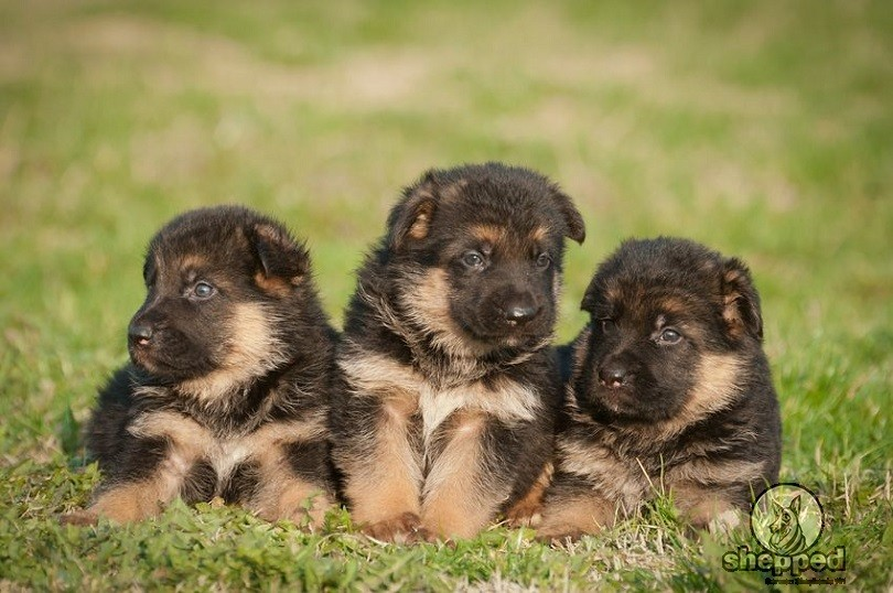 Potty Training Your Gsd Puppy Without Losing Your Mind Sheppedcom