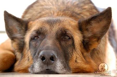 German Shepherd Life Expectancy