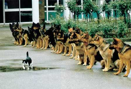 German Shepherd Sit and Stay command