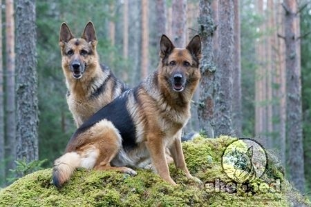 How to name Your German Shepherd