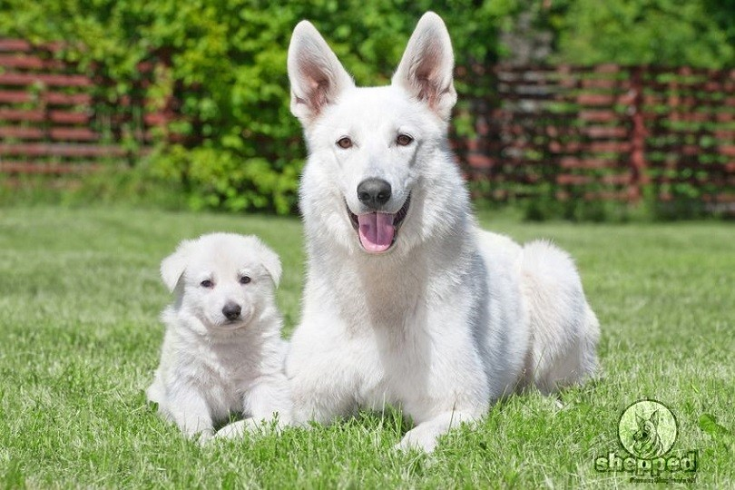 White German Shepherd – Everything You Need To Know ...