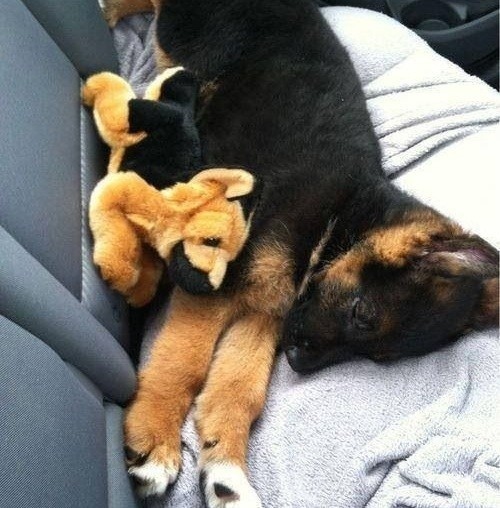 GSD With Toy