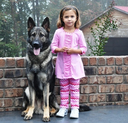 Loyal GSD Guarding His Owner