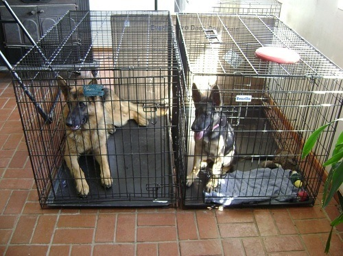 Two GSD in Their Crates