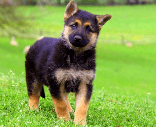 Miniature GSD Puppy