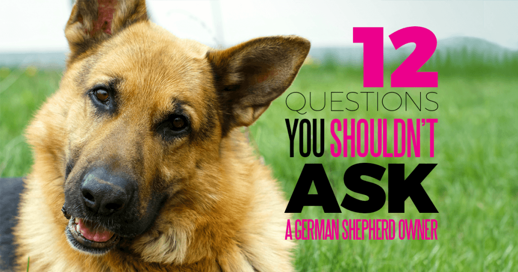12 questions you should never ask a german shepherd owner