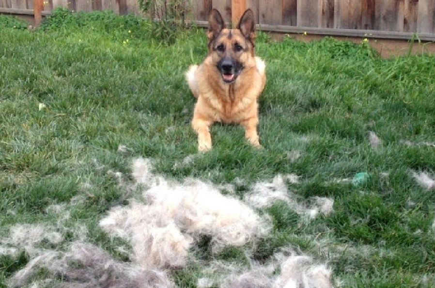 Shedding Season for German Shepherd