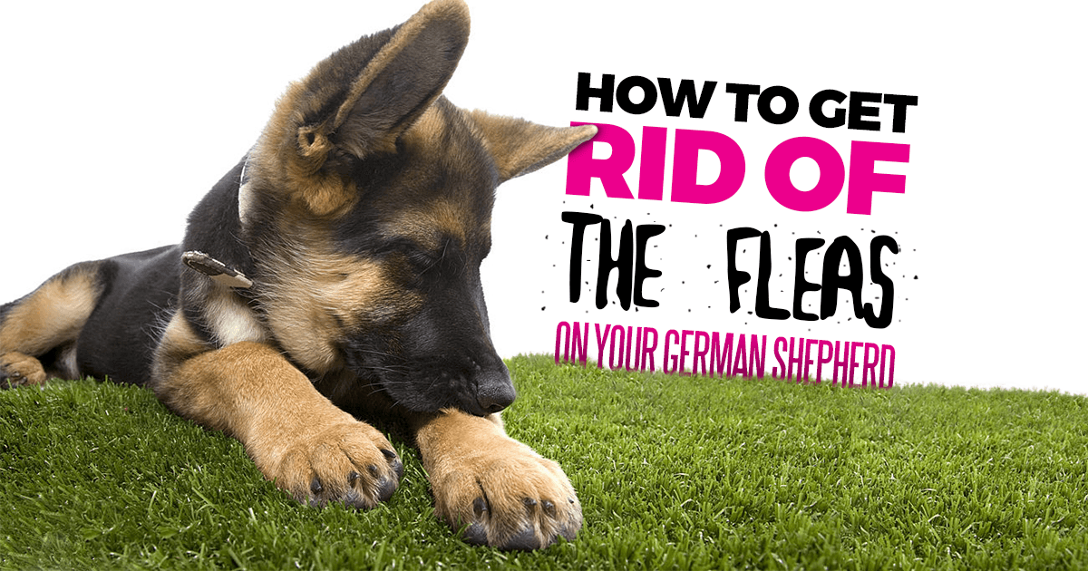 How To Get Rid Of The Fleas From Your Dog
