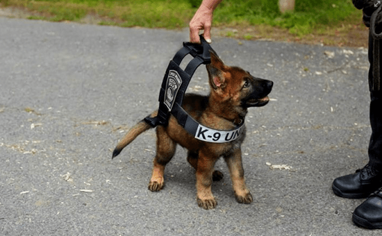 Puppy German Shepherd Service Dog