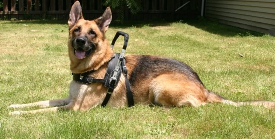 GSD Service Dog Training