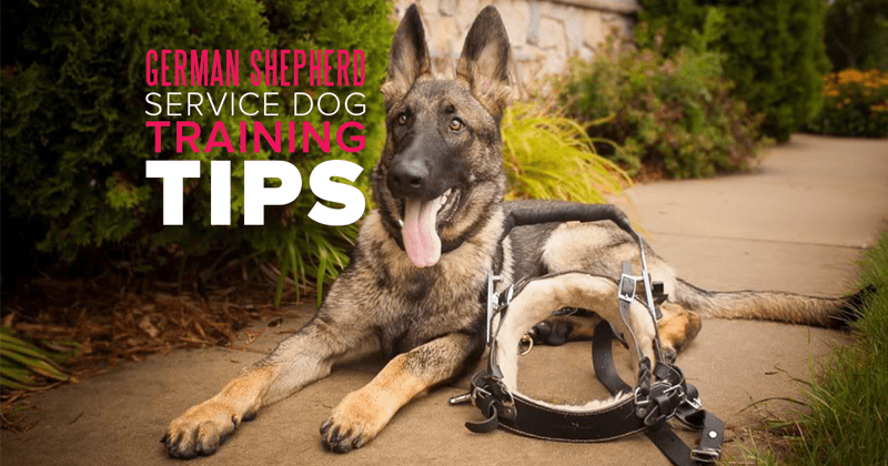 German Shepherd Service Dog Training