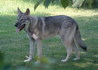 What Are The Most Popular German Shepherd Mixes Shepped Com