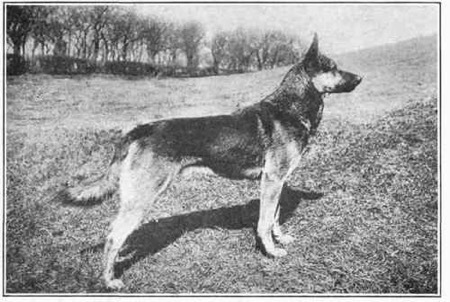 German Shepherd History