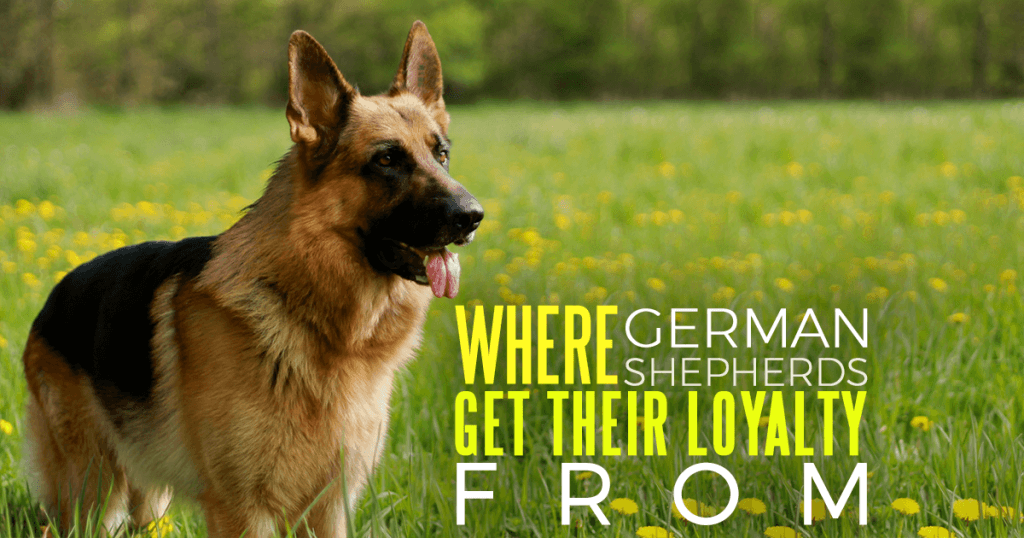 Where German Shepherds Get Their Loyalty From