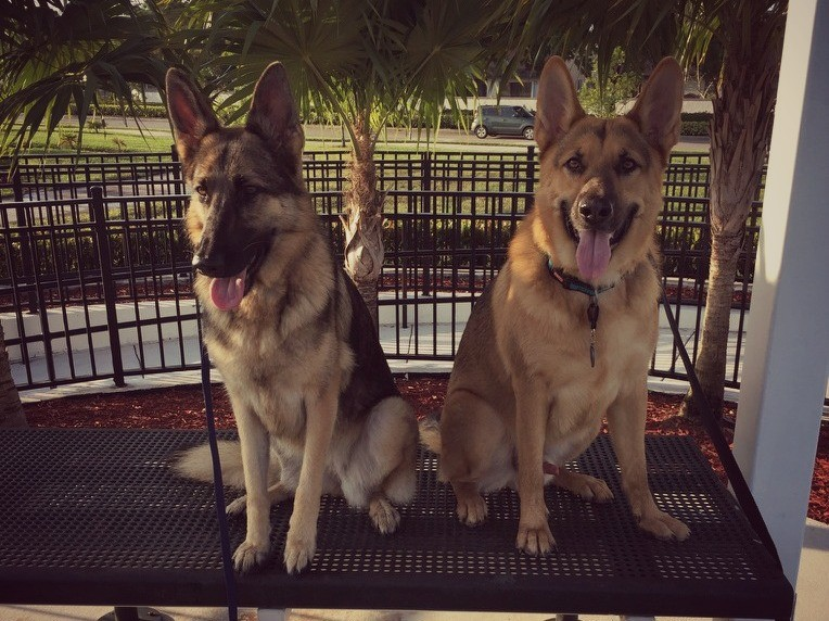 Two german shepherd
