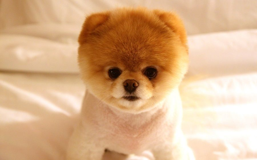 cost of pomeranian dog