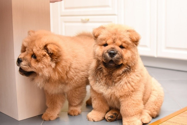 chow chow health issues