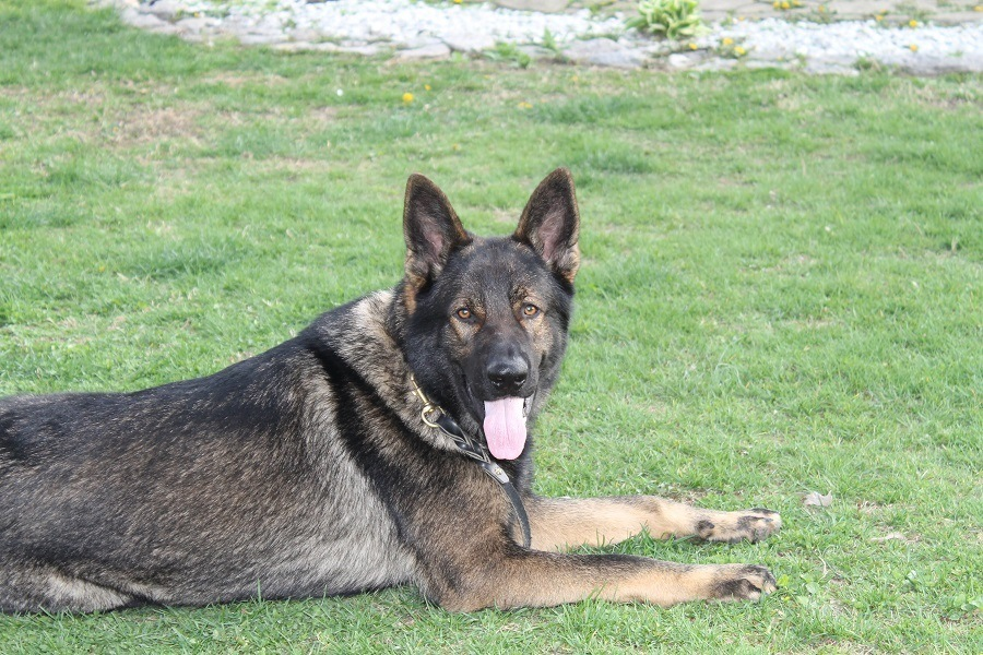 The DDR German Shepherd Pure Bred Work Dog That's Good With Kids