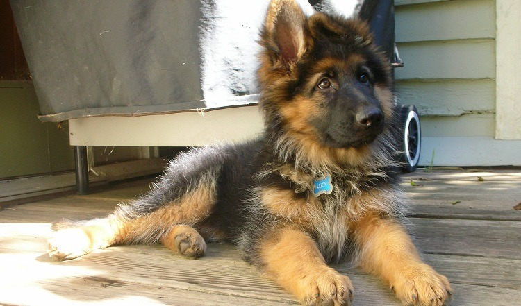 long haired german shepherd at home