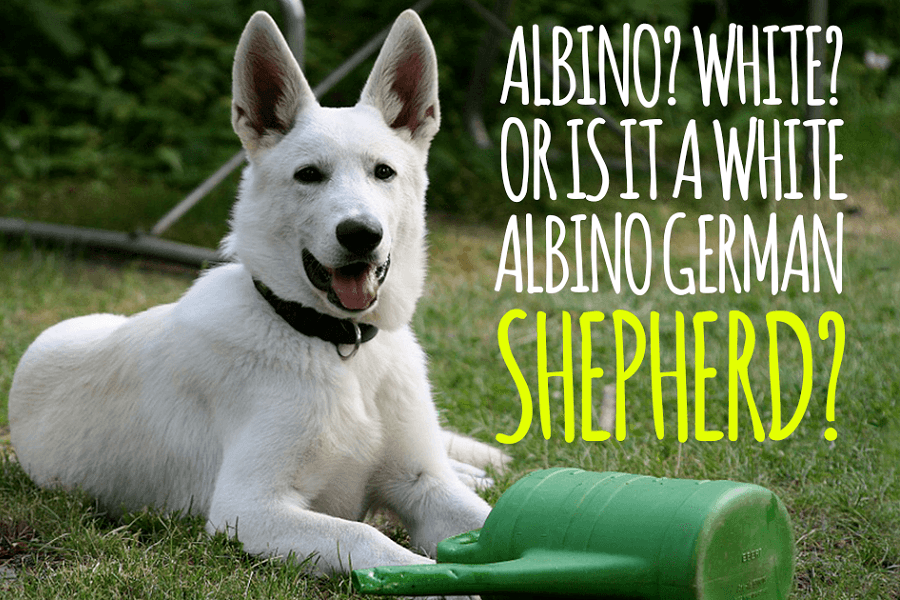 White German Shepherd – A Complete Guide To A White-Coat Dog