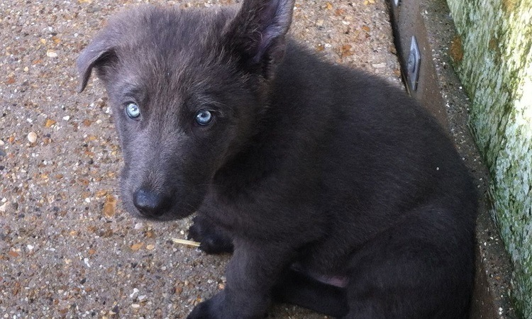 german shepherd eye color